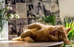 打呵欠在一张木桌上的橙色英国猫 免版税库存图片