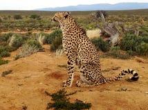 打呵欠在原野的猎豹 免版税库存照片