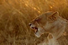 打呵欠在早晨光的雌狮 免版税库存照片