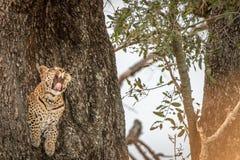 打呵欠在树的一头母豹子 免版税库存图片