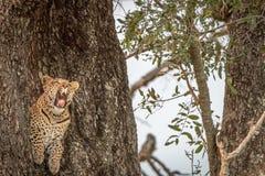 打呵欠在树的一头母豹子 免版税图库摄影