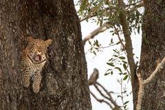 打呵欠在树的一头母豹子 库存图片