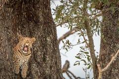 打呵欠在树的一头母豹子 库存照片