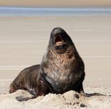 打呵欠在海滩的一头大新西兰海狮在Catlins的苏拉特海湾在南岛在新西兰 免版税库存图片