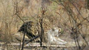 打呵欠在灌木的狮子和雌狮在克鲁格国家公园 库存照片