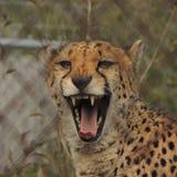 打呵欠在篱芭后的猎豹在运动场 库存照片