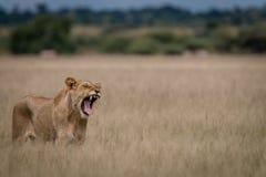 打呵欠在高草的狮子 免版税图库摄影
