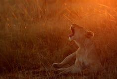 打呵欠在黎明期间的雌狮 库存照片