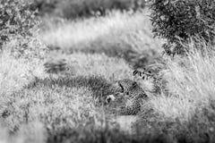 打呵欠在黑白的豹子 免版税库存照片