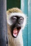打呵欠在Amboseli国家公园(肯尼亚)的黑长尾小猴 库存图片