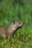 打呵欠地松鼠的uinta 免版税库存图片