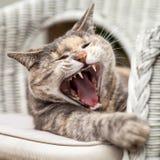 打呵欠坐的龟甲平纹的猫 免版税库存图片