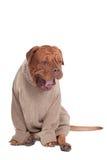 打呵欠大的狗 免版税库存照片