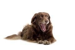 打呵欠棕色的狗 免版税库存图片