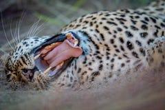 打呵欠母的豹子放下和 免版税库存照片