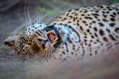 打呵欠母的豹子放下和 免版税图库摄影