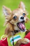 打呵欠滑稽的奇瓦瓦狗的小狗 免版税库存照片