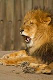 打呵欠狮子的男 免版税图库摄影