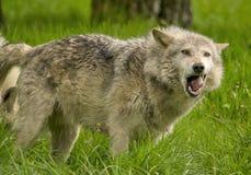 打呵欠的北美灰狼 免版税库存图片