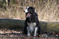 打呵欠的博德牧羊犬在森林里 库存照片