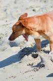 打呵欠的大红色狗 免版税库存图片