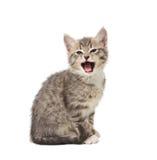 打呵欠的小猫 库存照片