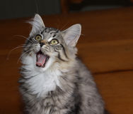 打呵欠的小猫 免版税图库摄影