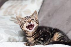 打呵欠的小猫 免版税库存图片