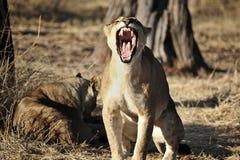 打呵欠的幼小狮子 免版税库存照片