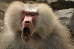 打呵欠的狒狒 库存照片