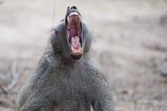 打呵欠的狒狒 免版税库存照片