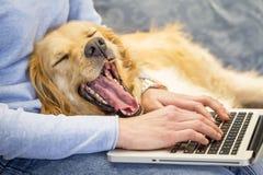 打呵欠的狗,当它的研究膝上型计算机时的所有者 库存照片