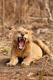 打呵欠的狮子 库存图片
