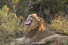 打呵欠的狮子3 免版税库存照片