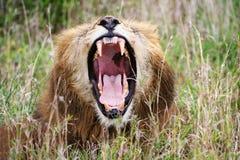 打呵欠的狮子 免版税库存照片