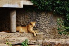 打呵欠的狮子 免版税库存图片