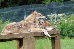 打呵欠的狼。 库存照片