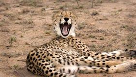打呵欠的猎豹 免版税图库摄影