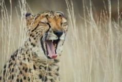 打呵欠的猎豹 免版税库存照片