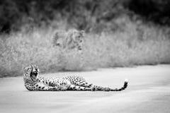打呵欠的猎豹 免版税库存图片
