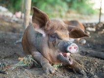 打呵欠的猪 免版税图库摄影