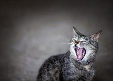 打呵欠的猫 图库摄影