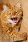 打呵欠的猫 免版税库存照片