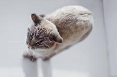 打呵欠的猫 库存图片