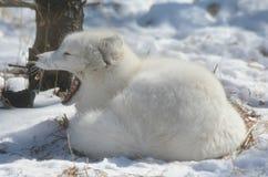 打呵欠的白狐在冬天栖所 免版税图库摄影