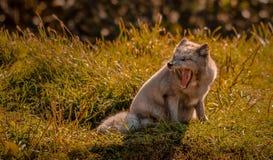 打呵欠的白狐在阳光下,魁北克,加拿大 库存照片