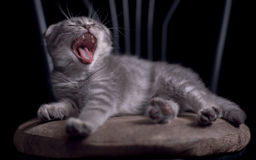打呵欠的笑的小猫 免版税图库摄影