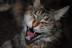打呵欠的缅因树狸猫 免版税图库摄影