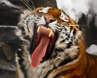 打呵欠的老虎 免版税库存图片