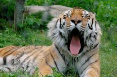 打呵欠的老虎 免版税库存照片